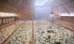 Llegaron las granjas de pollo y bajaron los precios