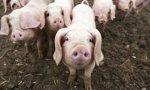 España está realizando diversas promociones en China para promocionar el porcino español