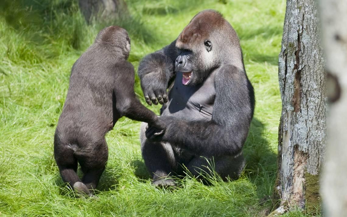 Los gorilas, gran preocupación gubernamental en medio de la crisis del coronavirus