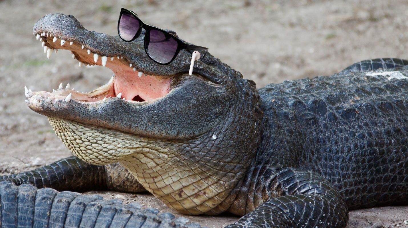 Un caimán 'colocao'