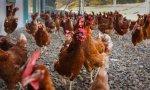 Hay que separar a las gallinas de los gallos porque las violan