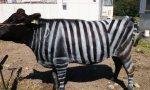 Estupidiario. Vacas pintadas como cebras… Para evitar las picaduras de los mosquitos. ¡Pobrecitas!