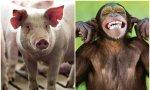 Papá cerdo y mamá chimpance
