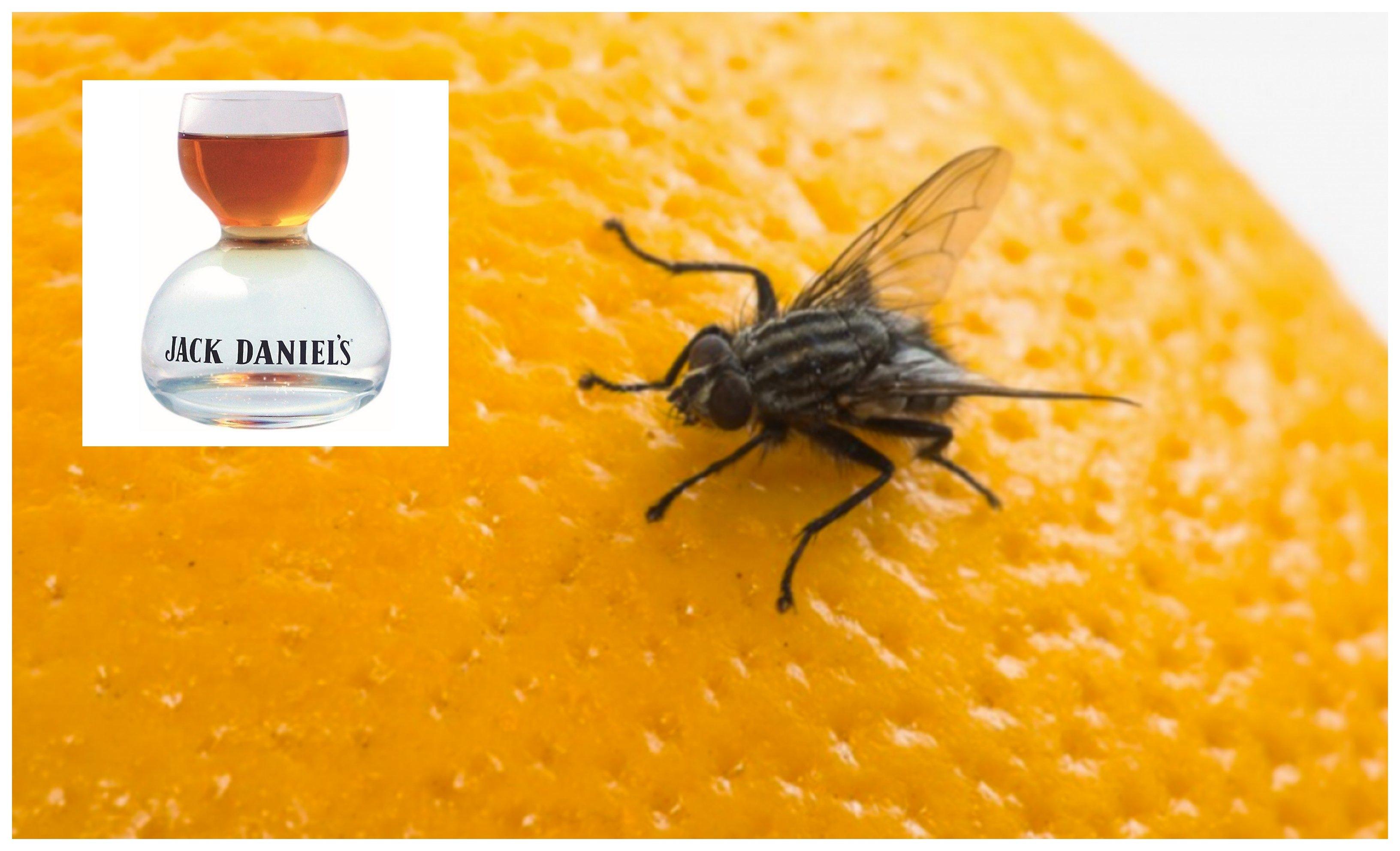 La mosca de la fruta se embriaga si la dan 'calabazas'