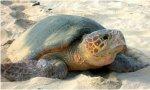 Vuelve Ada: se buscan voluntarios para custodiar un nido con 77 huevos de tortuga boba