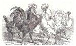El tal Sánchez tiene un gobierno, que es un estupendo matriarcado, en el que él se siente como el Gallo, de un segundo pollo acompañado, con moño, que le disputa de cuando en cuando, el manejo del corral