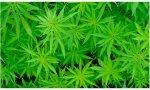Colocón podemita. Multados los candidatos de Podemos Laredo (Cantabria) detenidos por cultivar 500 plantas de marihuana en un chalet de Ampuero